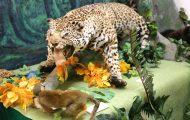 ジャガー。アマゾンで最も強い