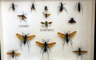 ベッコウバチ。タランチュラの体の中に卵を産み、生まれた幼虫がタランチュラを食べて育つ
