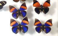 ミイロタテハ。世界一速く飛ぶチョウの種類の一つ。空飛ぶ宝石とも呼ばれる